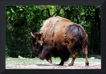 Buffalo on the Run