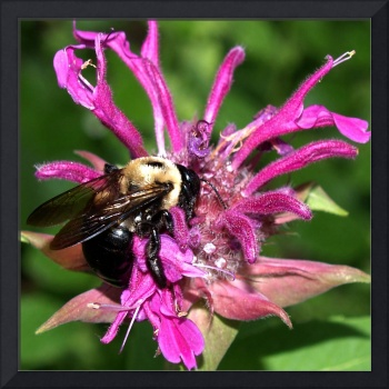Bee On Beebalm Photography by Ginette Callaway