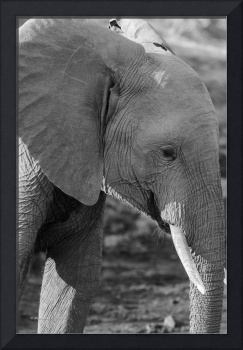 Elephant with Tusks Profile in Black & White