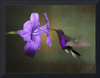 Hummingbird and Mexican Petunia Blossoms