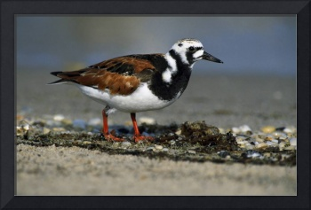 Adult Ruddy Turnstone Seabird (Arenaria Interpres