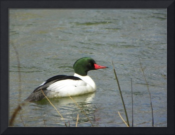 Duck Common Merganser Male
