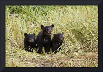 Three Black bear cubs sit on the grass covered sho