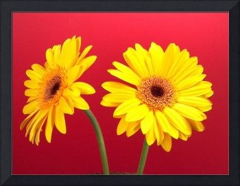 Yellow Gerbera Daisies Delight On Red
