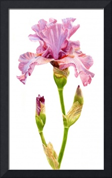 pink and violet elegant iris with buds