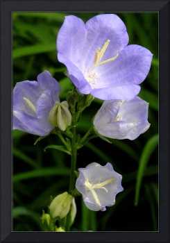 Peach-Leaved Bellflower