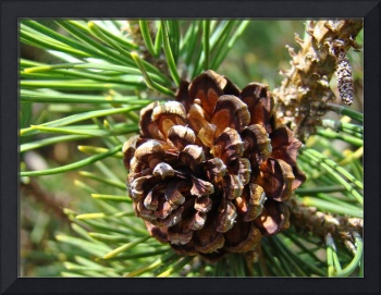 Pine Cone Fine Art Phtography Conifer Trees