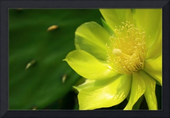 Exotic Yellow Cactus Blossom