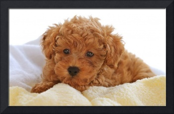 Light Brown Curly Haired Terrier