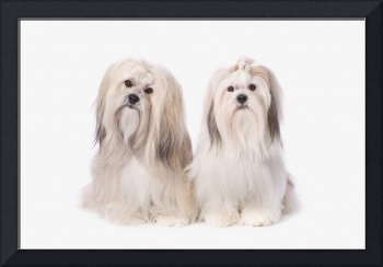 Two White Lhasa Apso Puppies