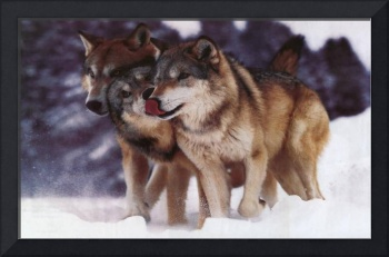 Timber Wolves In The Snow