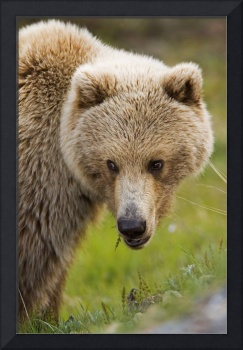 Adult Brown Bear In Denali National Park, Alaska