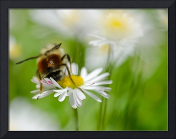 Bee One with the Daisy