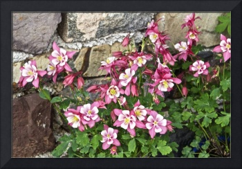 Pink Columbine Against a Stone Wall