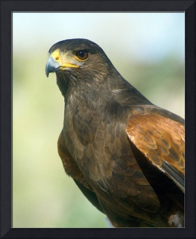 Harris Hawk Bird Portrait