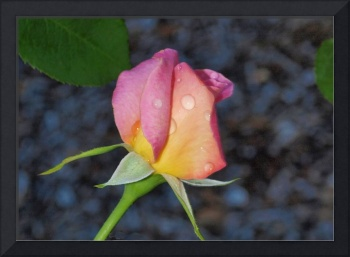 Pink and yellow rosebud