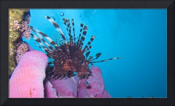 Lionfish and Purple Coral