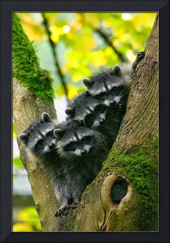 Family Of Raccoons In A Tree