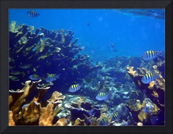 Belize Mustard Coral and Striped Fish