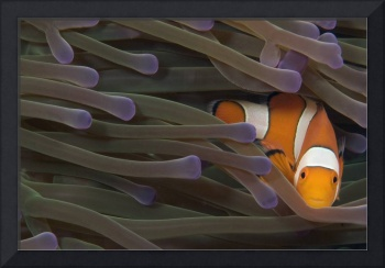 Indonesia, Clown Anemonefish