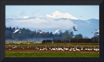 Swans and Mt Baker