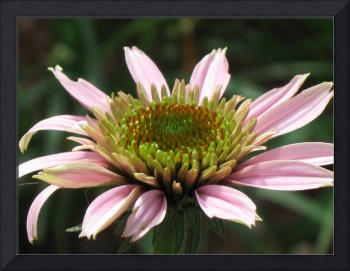 Immature Tufted Coneflower