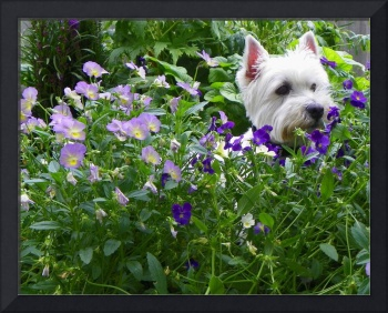I Found A Cool Spot - West Highland White Terrier
