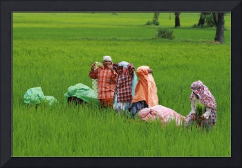 Farming rice in the green paddy fields