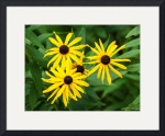 Black Eyed Susan by Rich Kaminsky