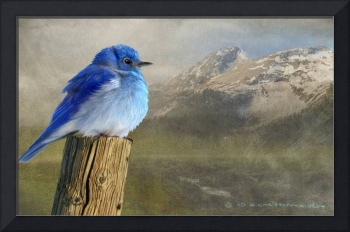 early spring chill / mountain bluebird