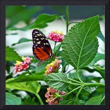 Hecale Longwing Butterfly on Lantana Flowers (2)