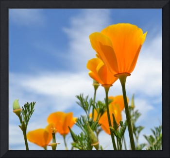 Blue Skies and Poppies