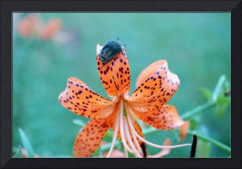 tiger lilly with June bug 1