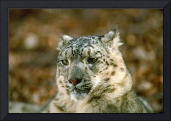 Endangered Snow Leopard Close Up