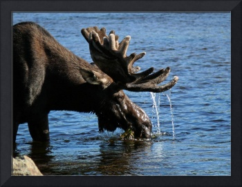 Gordon The Bull Moose,Maine