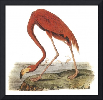 Greater Flamingo Bird Audubon Print