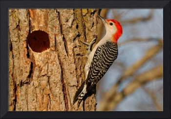 Red-bellied Woodpecker by a Hole