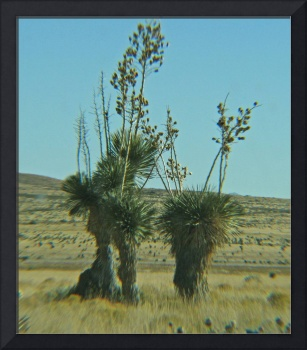 Yucca in Bloom