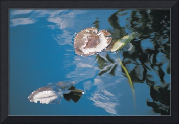 Water lily leaves and reflection of clouds in lake