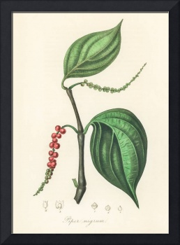 Vintage Botanical Black pepper