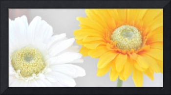 White and Yellow Gerbera