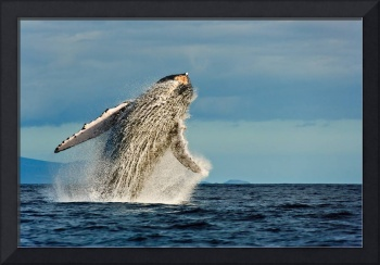 Humback whale breach 11855