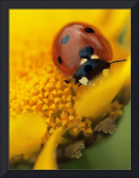 Ladybird on flower, Macro, still life, ladybug ph2