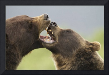 Brown Bears Playfighting, Wildlife Conservation Ce