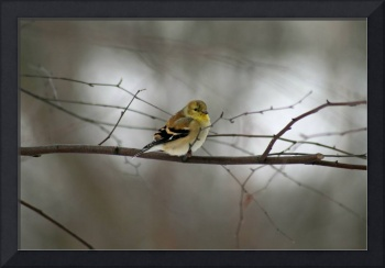 Winter goldfinch looking at you