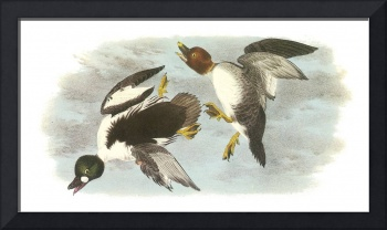 Common Goldeneye Bird Audubon Print