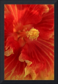 Aloalo Bridal Path Tropical Hibiscus
