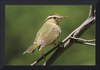 Worm-Eating Warbler Photograph