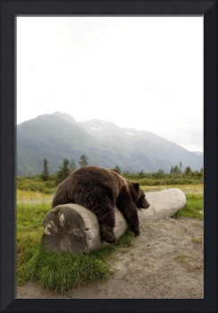 Adult Brown bear rests on a log at the Alaska Wild