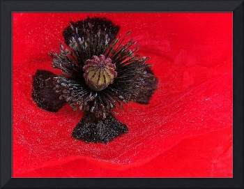 A river of pollen at the heart of a Poppy